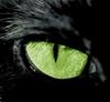 Amurcat