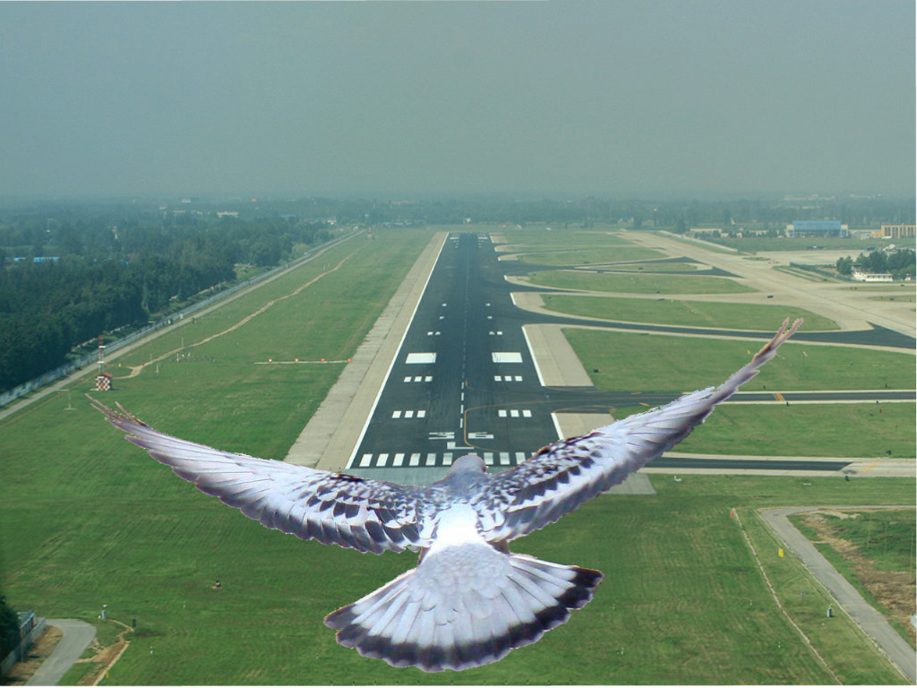 Голуби летают как вертолёты :)
