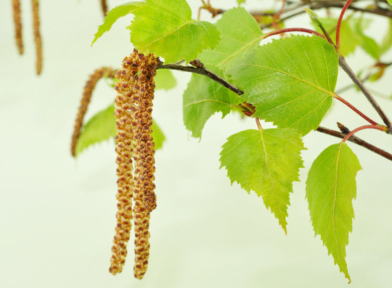leaves-of-white-birch.jpg.5048117c97b4f09362bfe1a495868fe1.jpg